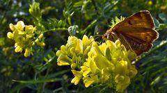 Schmetterling auf gelben Blüten!