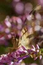 Schmetterling auf Heidekraut