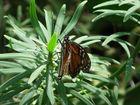 Schmetterling auf Kaktus