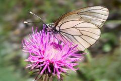 Schmetterling auf Klee