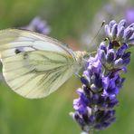 Schmetterling auf Lavendel 2
