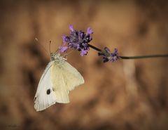 Schmetterling auf Lavendelblüte -1