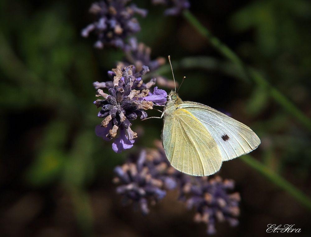 Schmetterling auf Lavendelblüte
