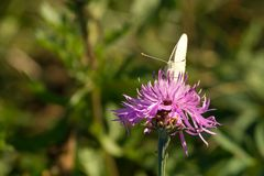 Schmetterling auf lila Blume
