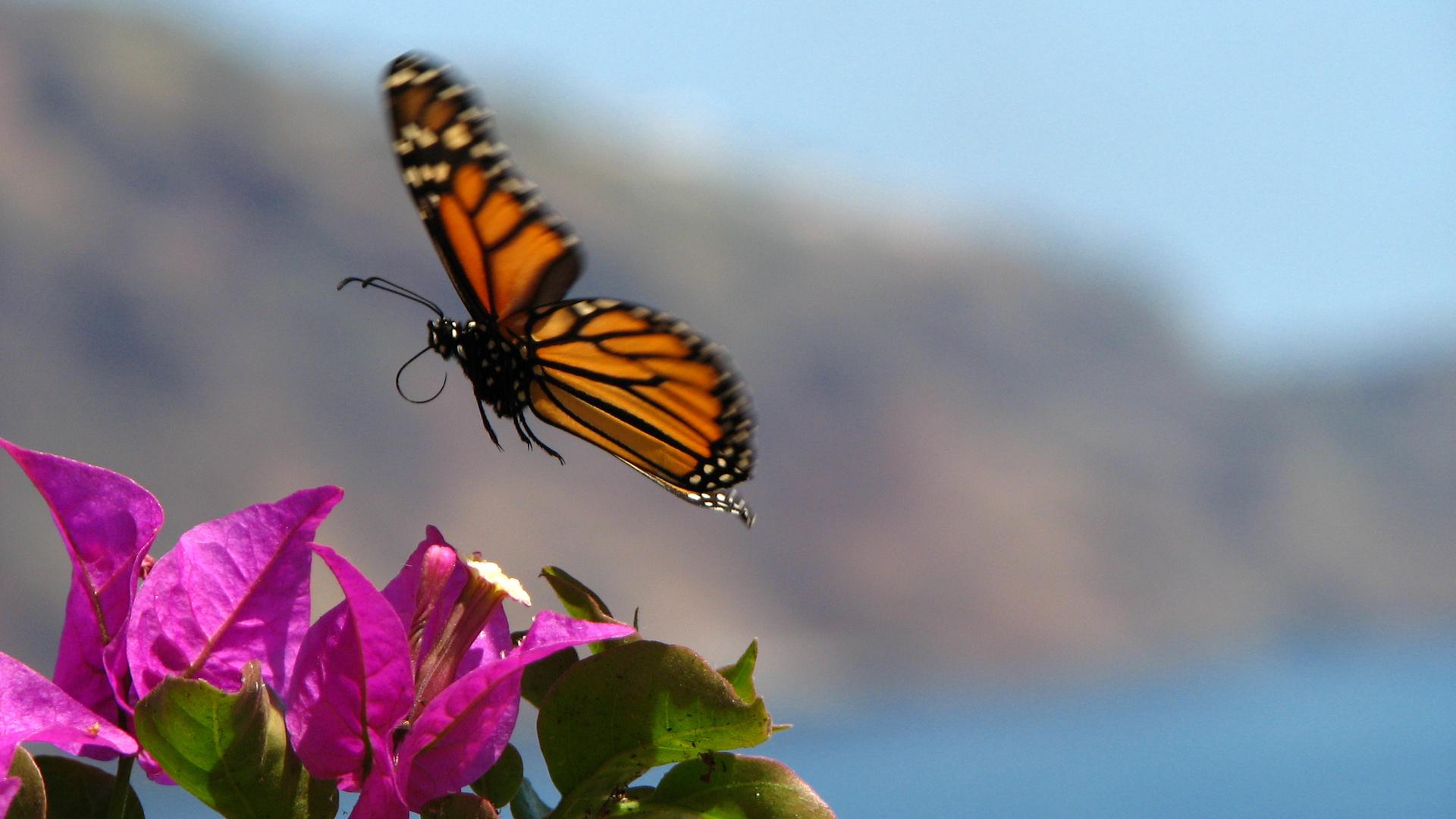 Schmetterling auf Madeira