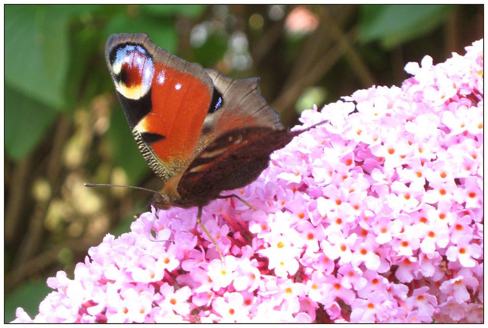 Schmetterling auf meinem Flieder