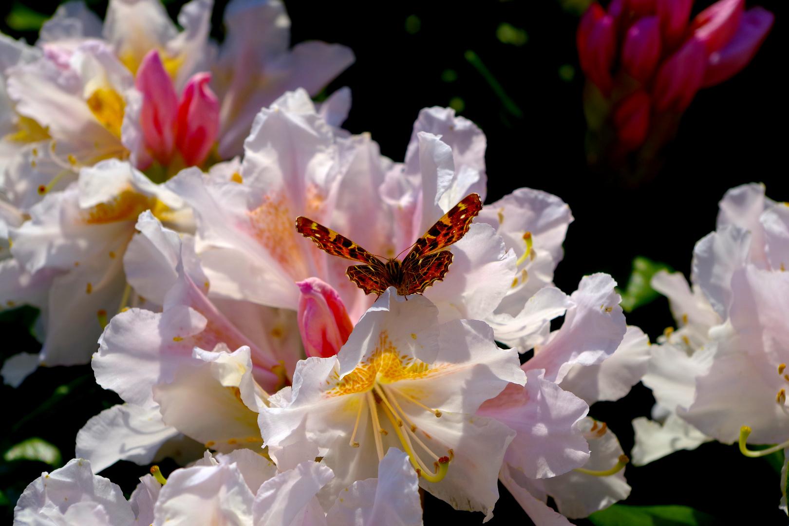 Schmetterling auf Rhododendron