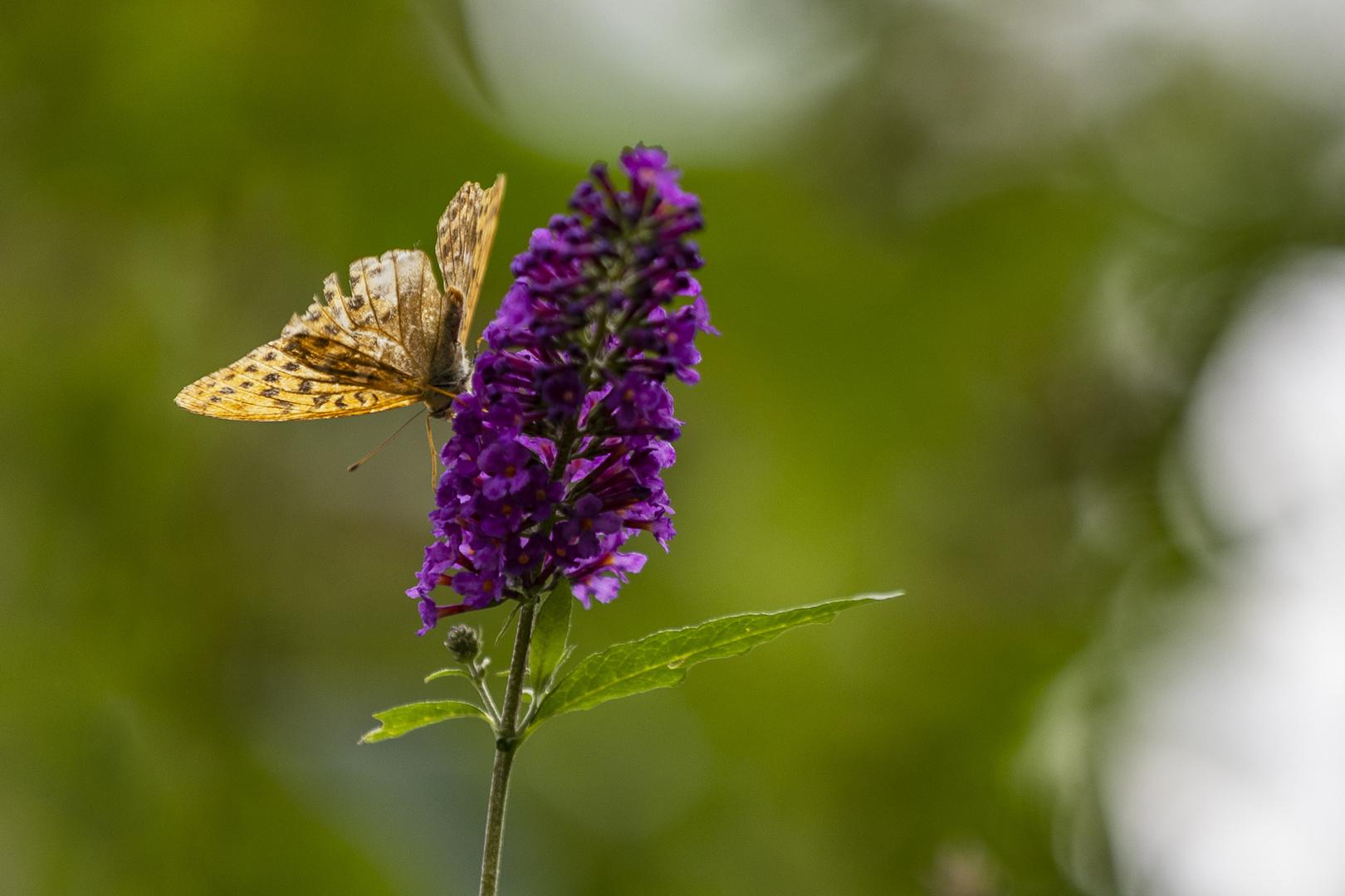 Schmetterling auf Schmetterlings-Flieder