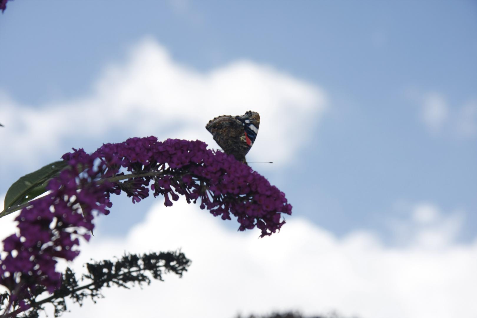 """Schmetterling auf """"Schmetterlingsstrauch"""""""