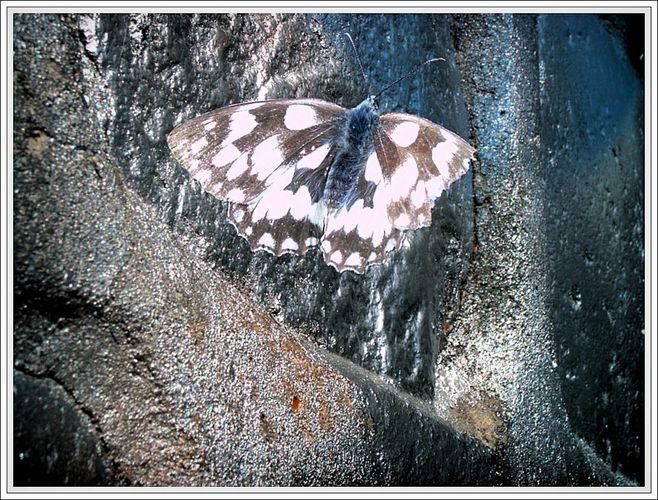 Schmetterling auf Silber