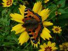 Schmetterling auf Sommerblume
