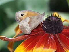 Schmetterling auf Sonnenhut