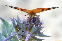 Schmetterling auf Stranddistel