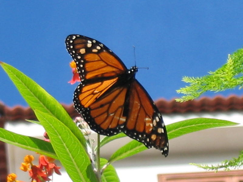 Schmetterling auf Teneriffa