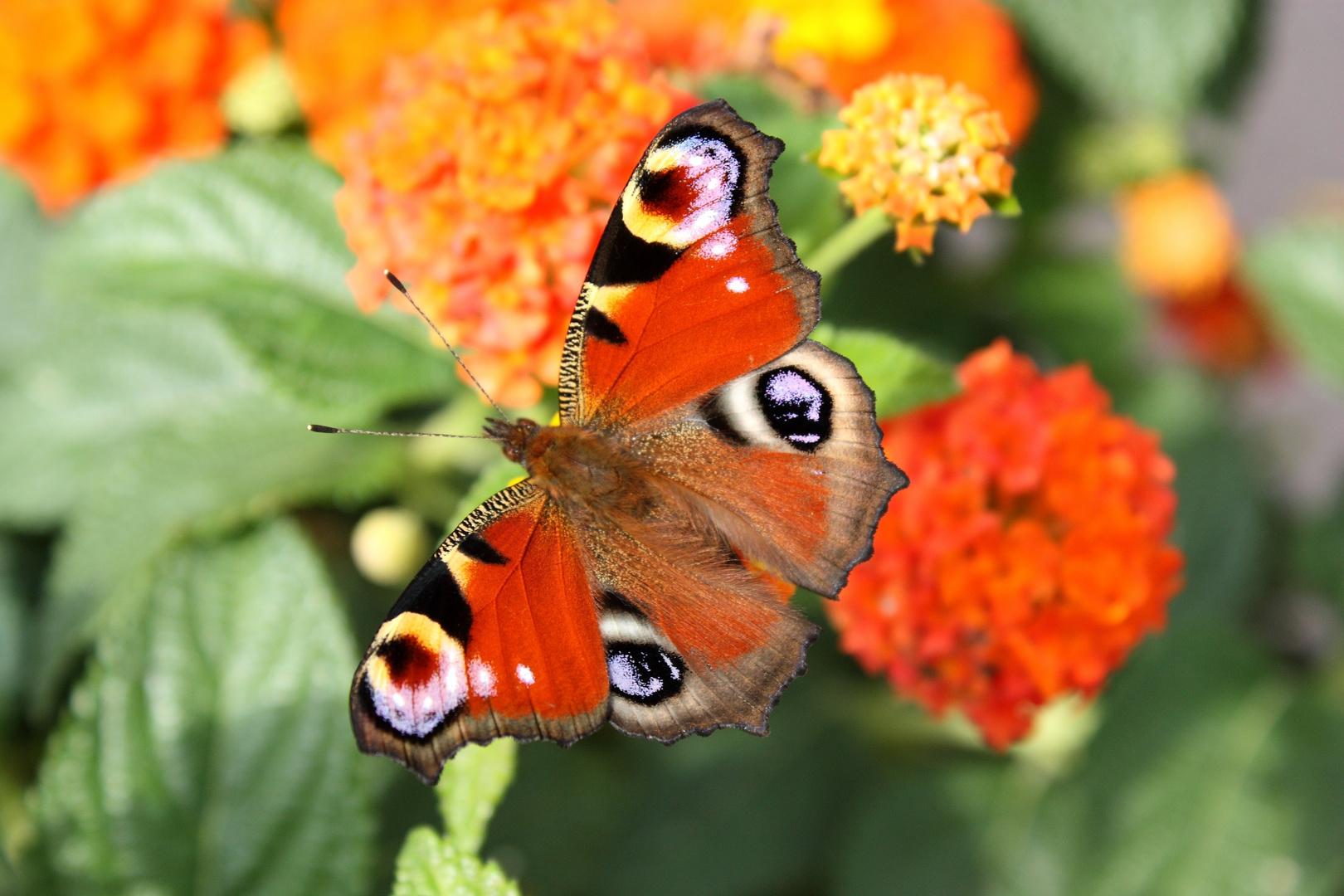 Schmetterling auf Wandelröschen