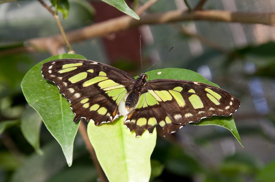 Schmetterling-