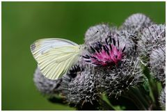Schmetterling..