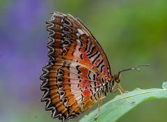 Schmetterling (?)