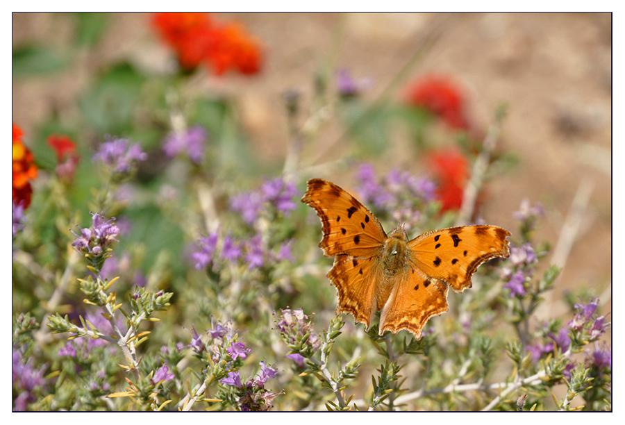 Schmetterling bei der Futtersuche #2