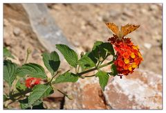 Schmetterling bei der Futtersuche #3