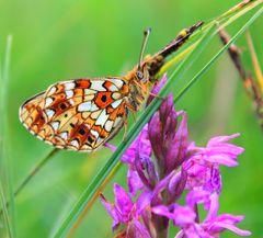 Schmetterling bei Knabenkraut