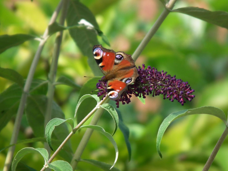 Schmetterling bei Nektarsuche