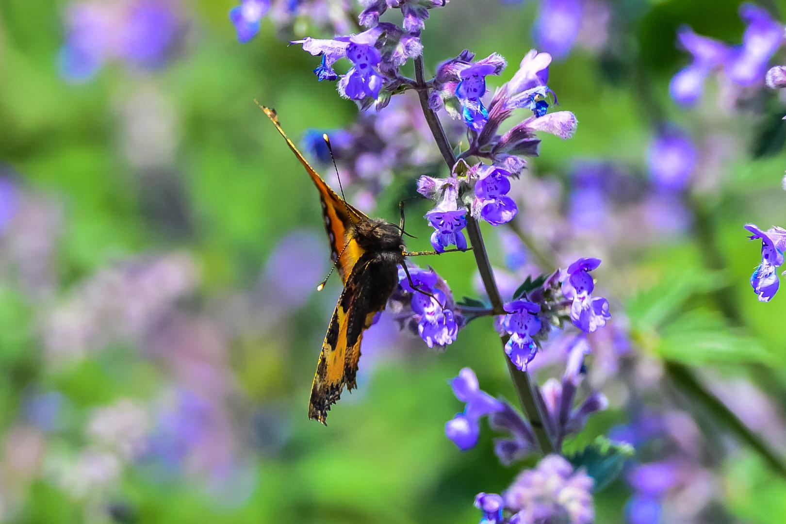 Schmetterling beim Futtern ;-)
