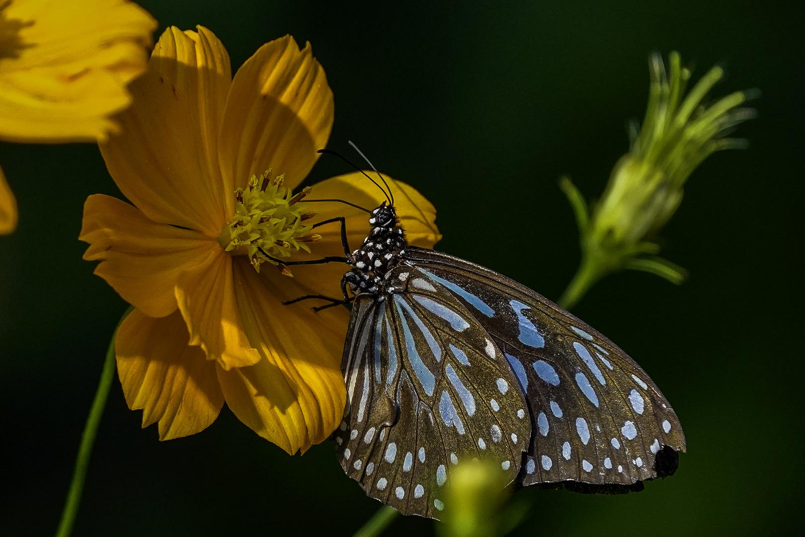 Schmetterling beim Nektar saugen