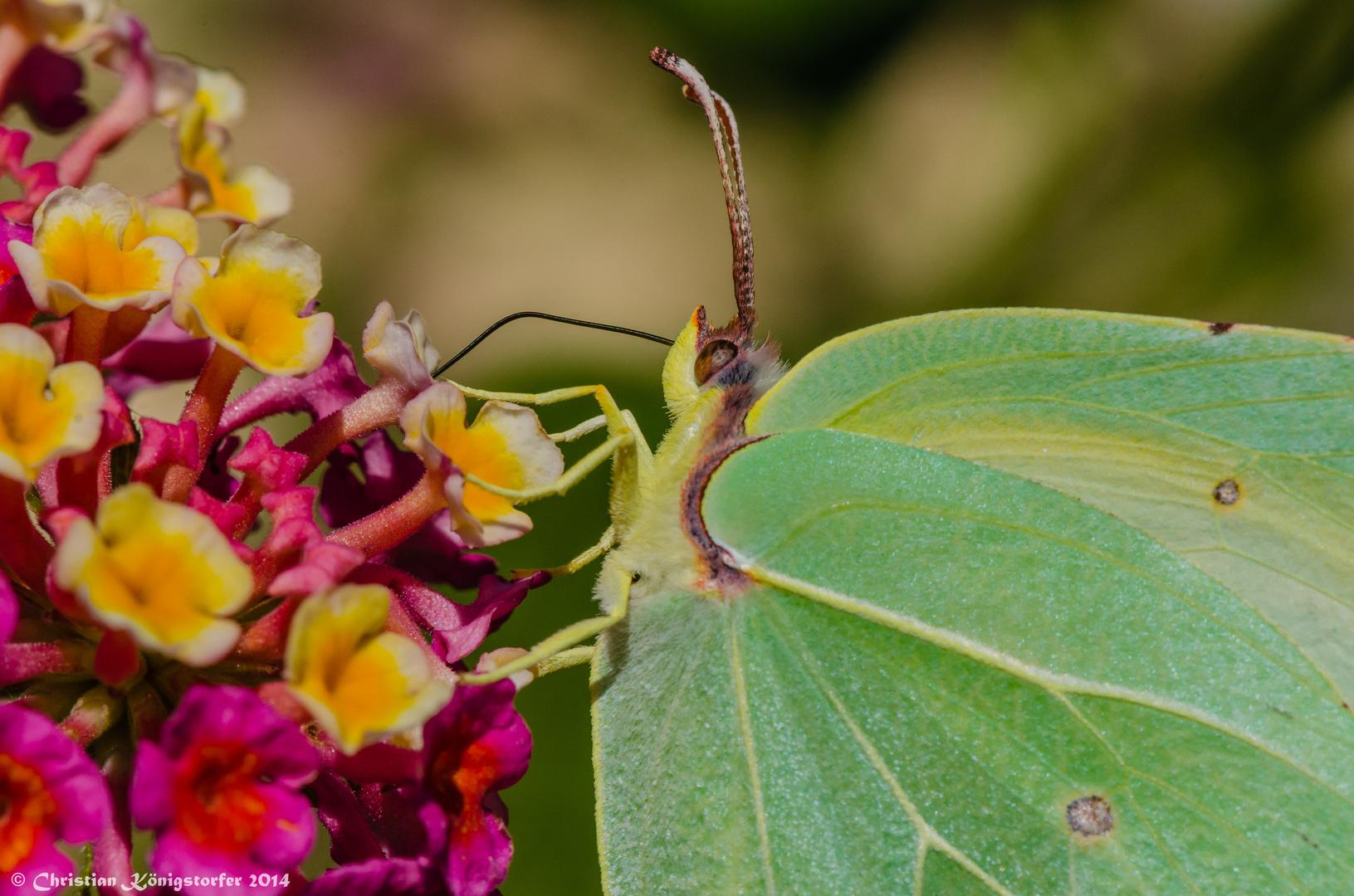Schmetterling beim Nektar schlürfen