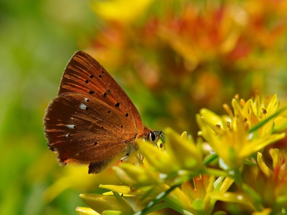 Schmetterling Bokeh...