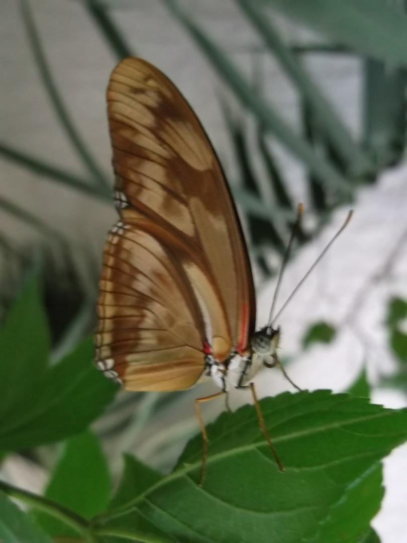 Schmetterling braun - orange