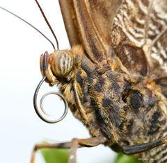 Schmetterling - Caligo memnon