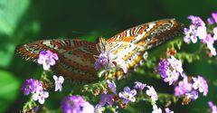 Schmetterling-Cethosia cyane