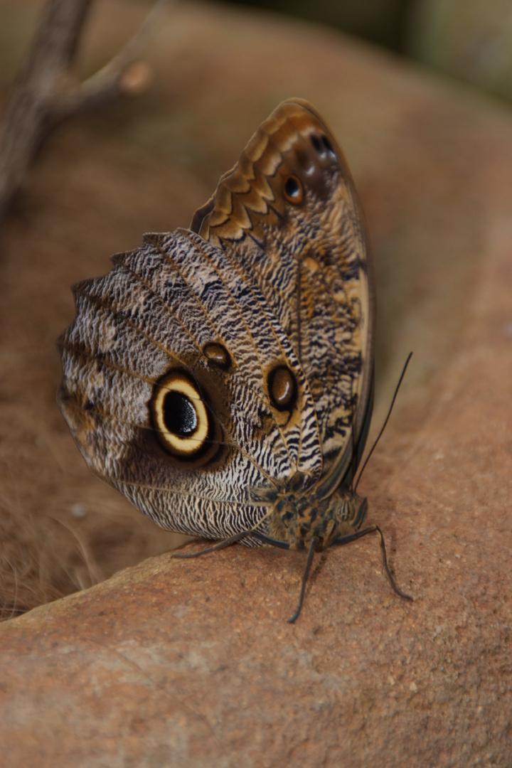 Schmetterling, Costa Rica