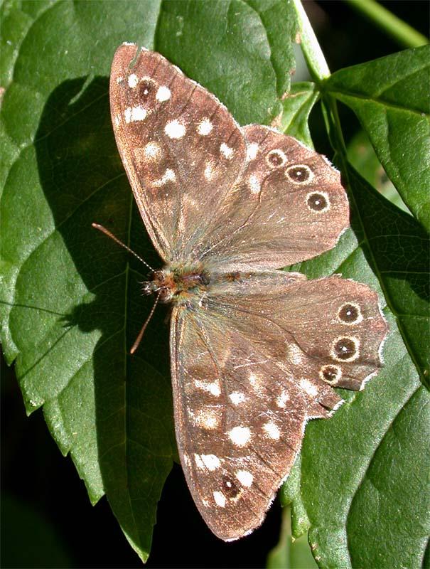 Schmetterling......