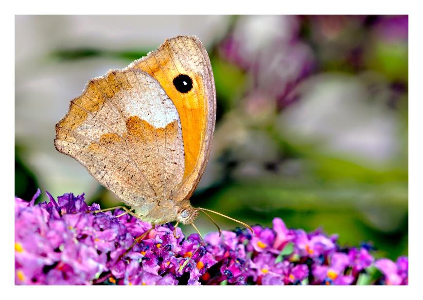 Schmetterling..