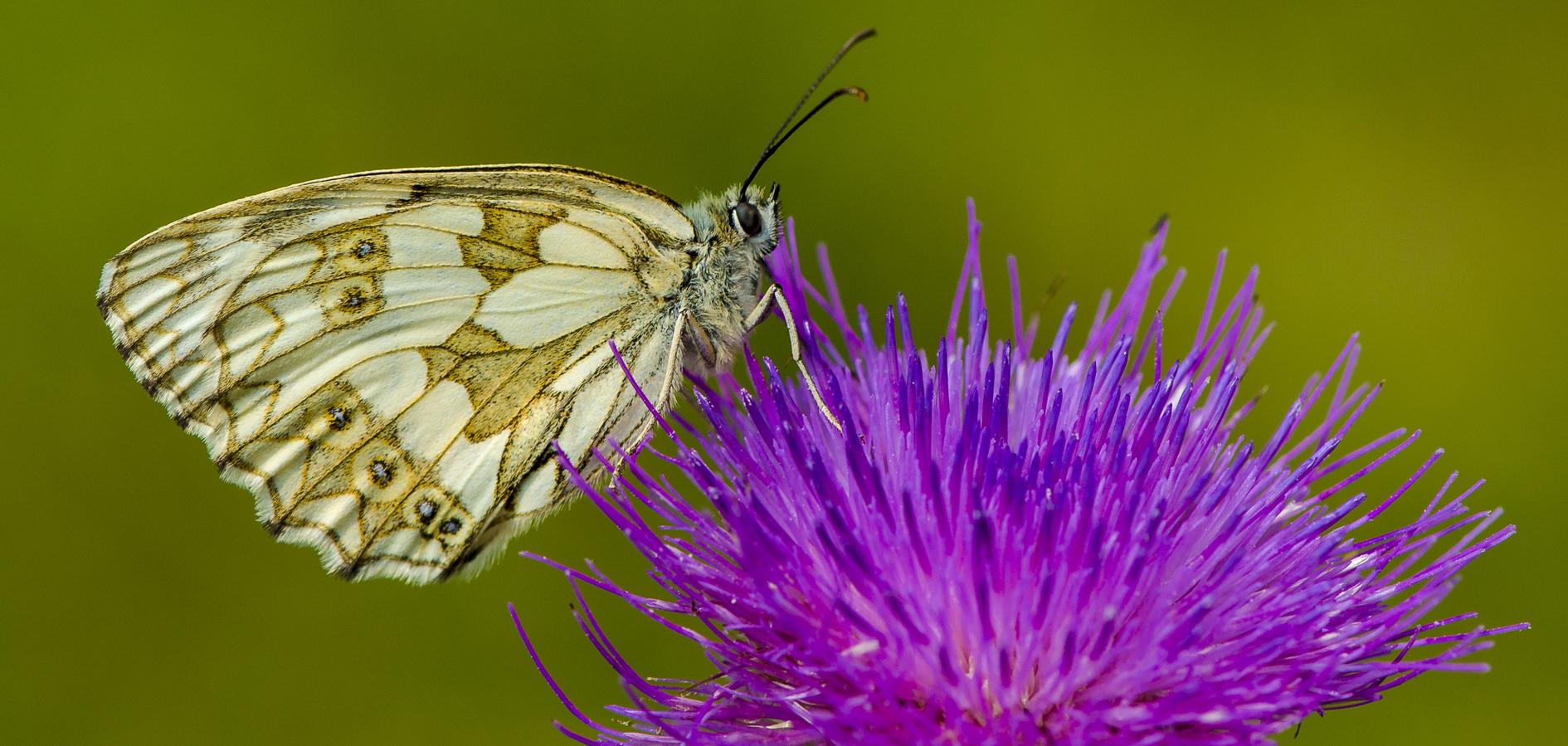Schmetterling, der 285.392ste in FC