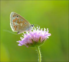 Schmetterling der Herzen