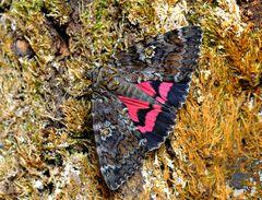 Schmetterling des Jahres 2015