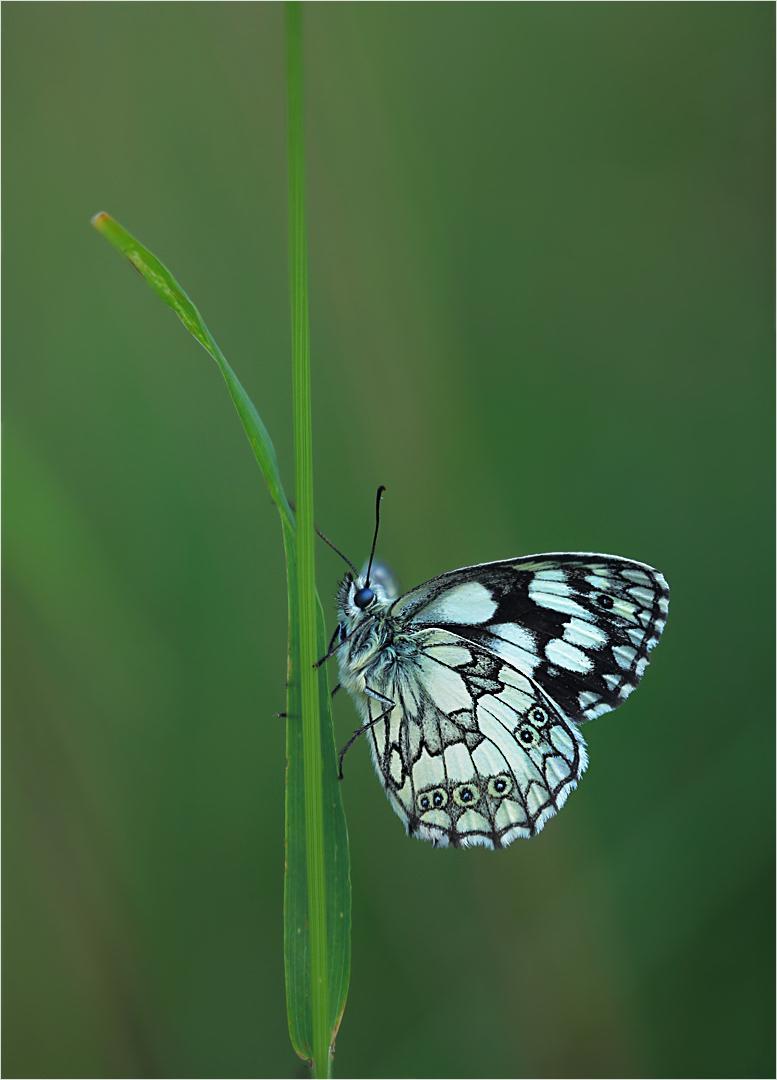 Schmetterling des Jahres....