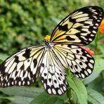 Schmetterling die 2.