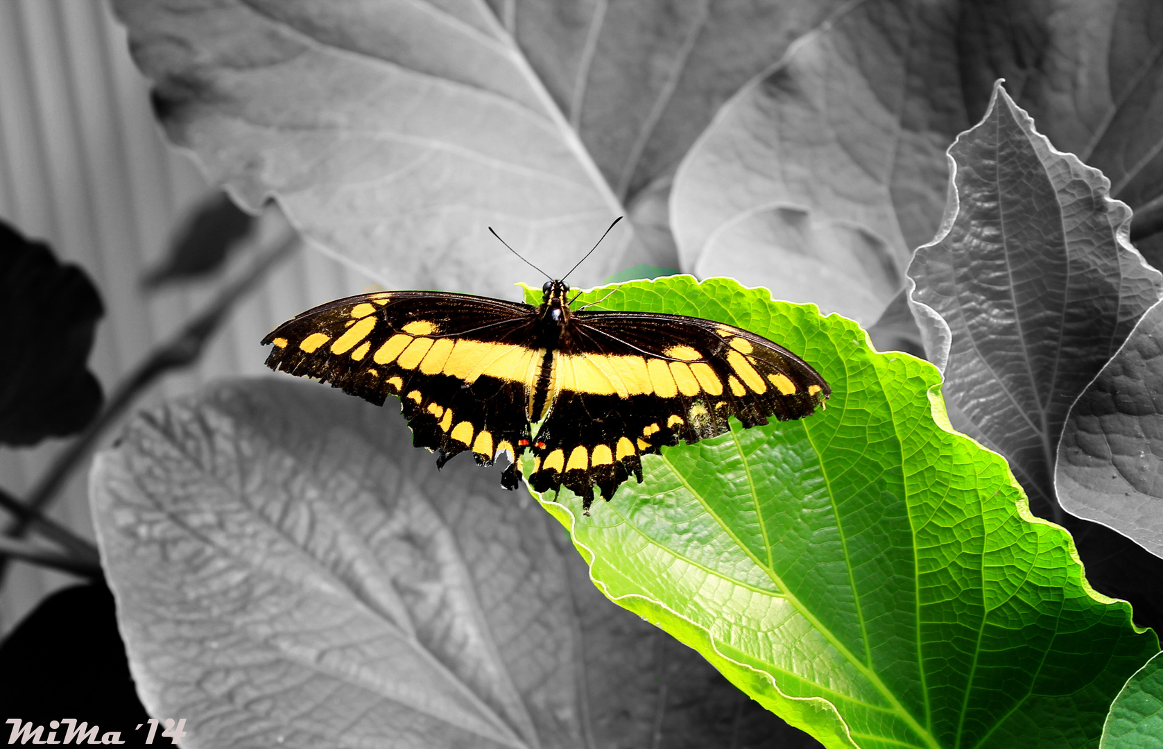 Schmetterling die II.