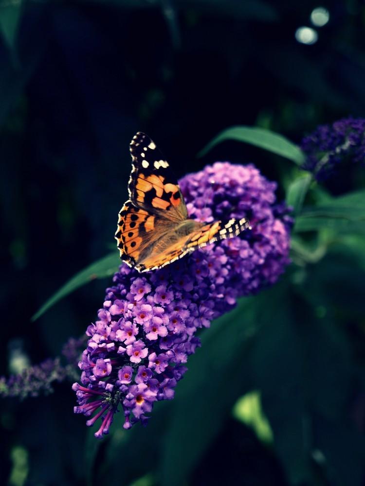 Schmetterling - Distelfalter