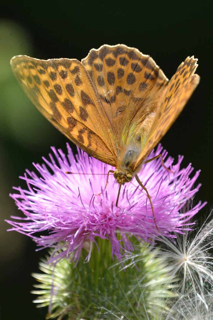 Schmetterling DSC_6635 b