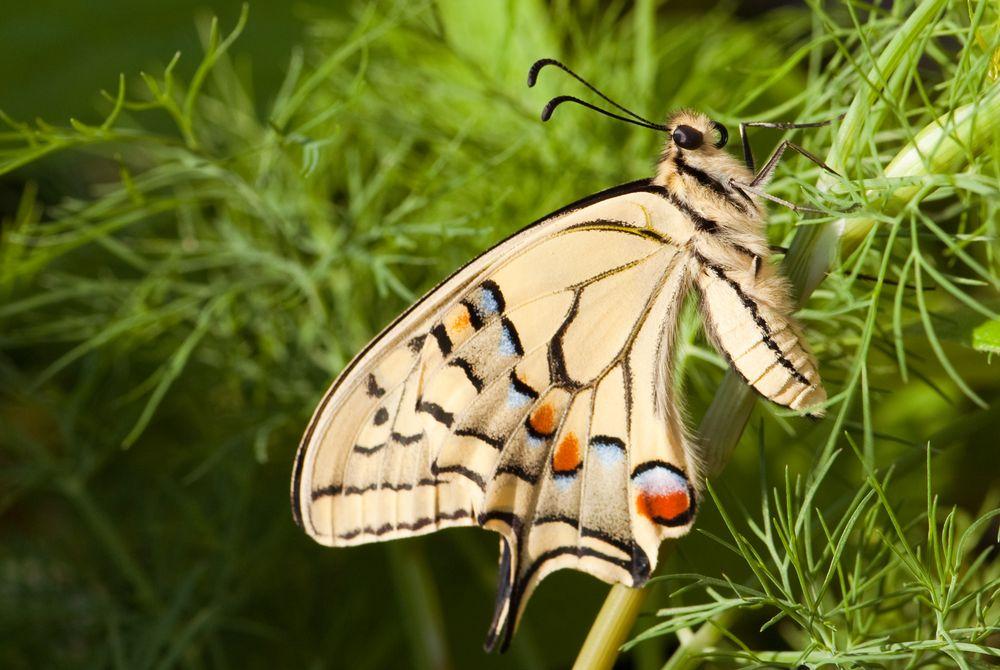 Schmetterling frisch geschlüpft