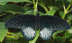 Schmetterling-Great Yellow Mormon-Papiliolowi