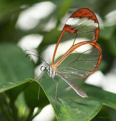 Schmetterling-Greta oto-Glasschmetterling