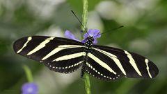 Schmetterling Heliconius charitonius Zebra Longwing