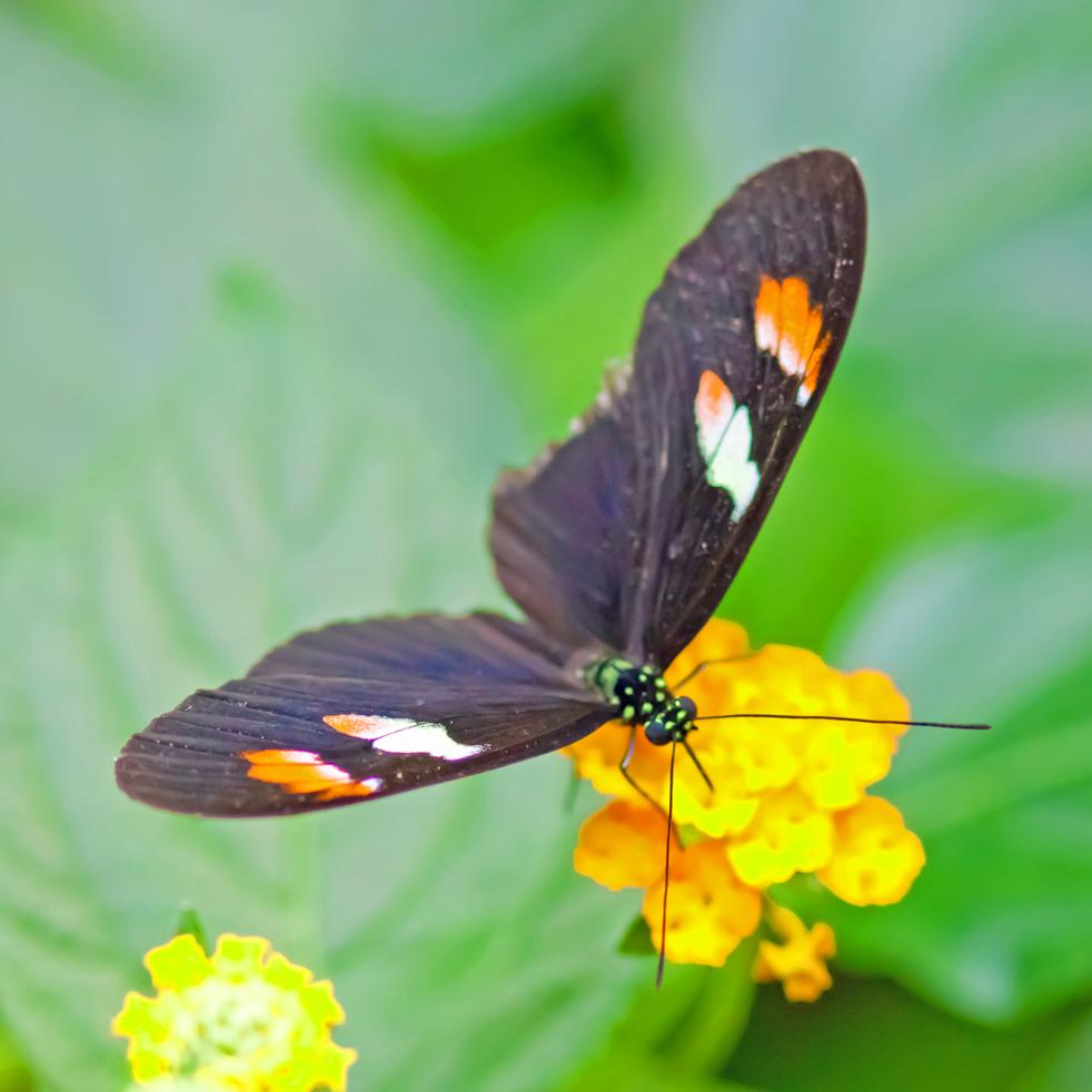 Schmetterling   Heliconius melpomene