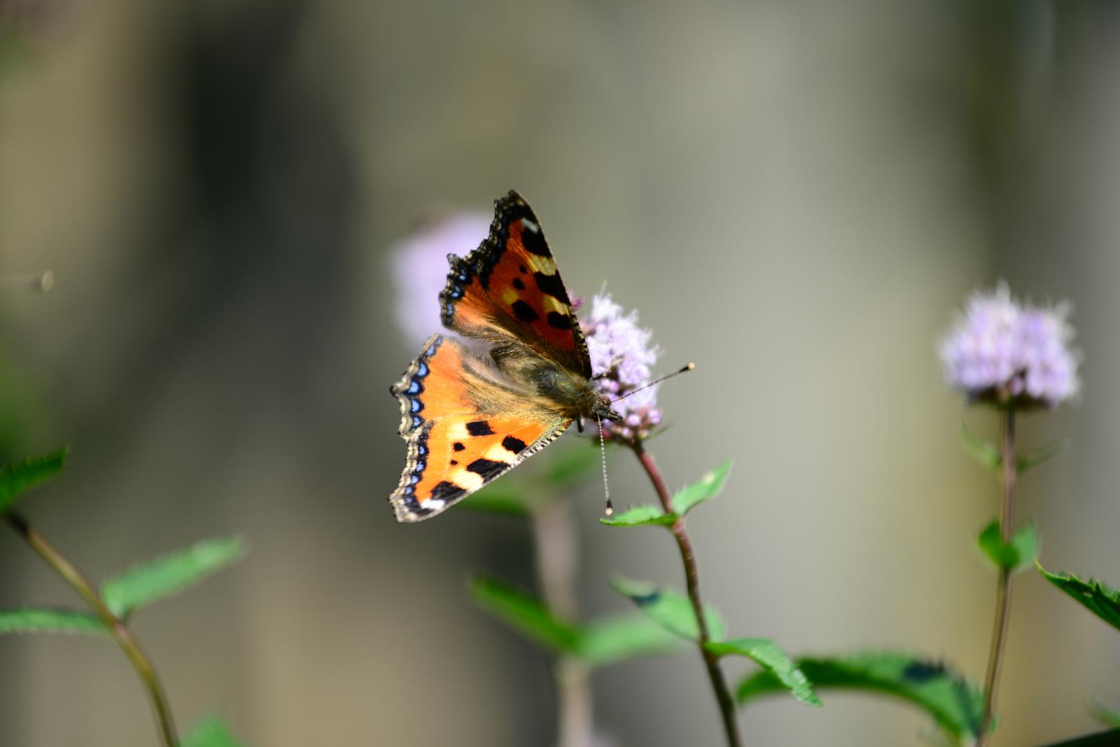 Schmetterling I